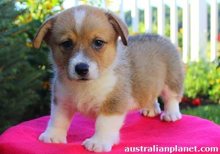 Pembroke Welsh Corgi Puppies For Sale in Ballarat