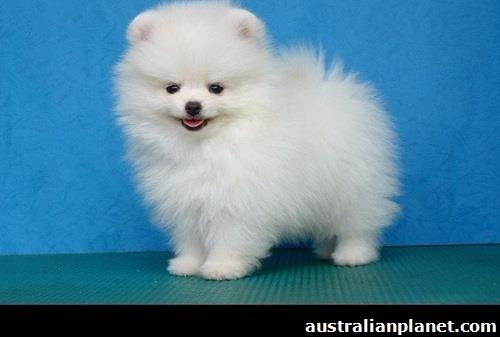 Two Teacup Pomeranian Puppies Needs a New Family in Melbourne